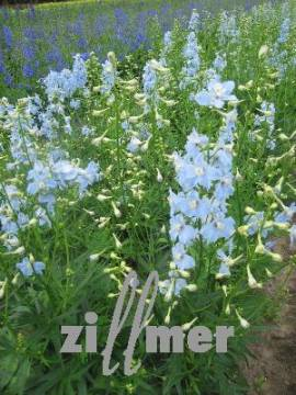Delphinium Belladonna-Hybride 'Capri', Rittersporn, eisblau - Bild vergrößern
