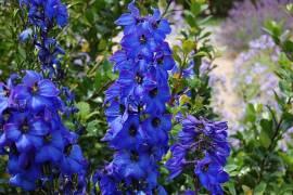 Delphinium elatum 'Finsteraarhorn' Rittersporn dunkelblau - Bild vergrößern