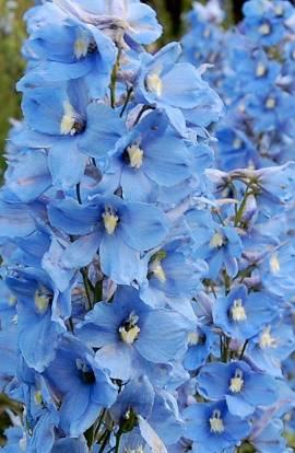 Delphinium elatum 'Morgenduft' Rittersporn hellblau - Bild vergrößern