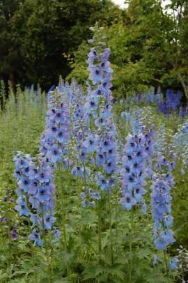 Delphinium elatum 'Morgentau' Rittersporn hellblau - Bild vergrößern