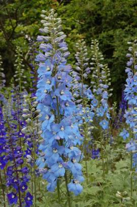 Delphinium elatum 'Rosenquarz' Rittersporn hellblau mit rosa - Bild vergrößern