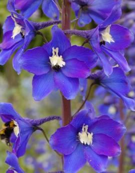 Delphinium elatum 'Schildknappe' Rittersporn violettblau - Bild vergrößern