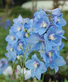 Delphinium elatum 'Sommerwind' Rittersporn hellblau - Bild vergrößern