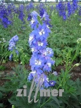 Delphinium elatum 'Jubelruf' Rittersporn himmelblau - Bild vergrößern
