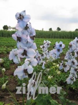 Rittersporn hellblau perlmutt, Delphinium elatum 'Werratal' - Bild vergrößern
