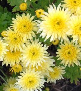 Chrysanthemum Indicum-Hybriden 'Lichtkuppel', Winteraster - Bild vergrößern