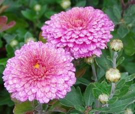 Chrysanthemum Indicum-Hybriden 'Schloßtaverne', Winteraster - Bild vergrößern