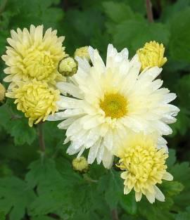 Chrysanthemum Indicum-Hybriden 'Weißer Riese', Winteraster - Bild vergrößern