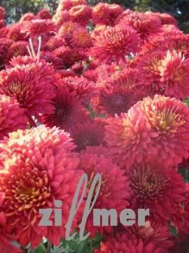 Winteraster, Chrysanthemum Indicum-Hybriden 'Brennpunkt' - Bild vergrößern