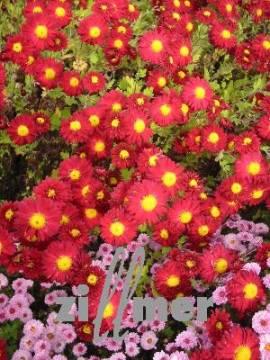 Chrysanthemum Indicum-Hybriden 'Ceddie Mason', Winteraster - Bild vergrößern