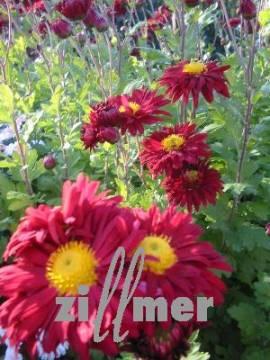 Winteraster, Chrysanthemum Indicum-Hybriden 'Oury' - Bild vergrößern