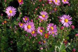 Chrysanthemum Indicum-Hybriden 'Clara Curtis', Winteraster' - Bild vergrößern
