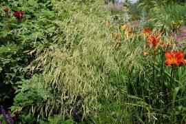 Deschampsia cespitosa 'Goldschleier', Waldschmiele - Bild vergrößern