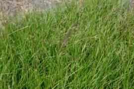 Deschampsia cespitosa 'Waldschrat', Waldschmiele - Bild vergrößern