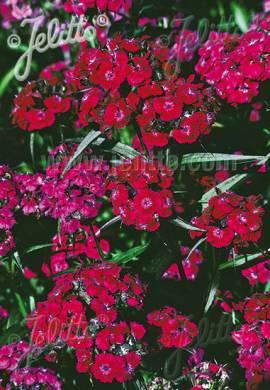 Dianthus barbatus 'Oeschberg', Bartnelke, Schokoladennelke - Bild vergrößern