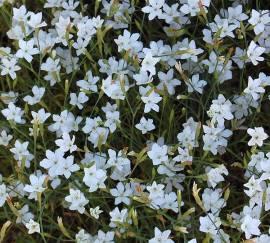 Dianthus deltoides 'Alba' Heidenelke - Bild vergrößern