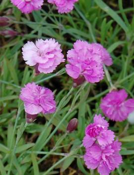 Dianthus Gratianopolitanus - Hybriden 'Pink Jewel', Pfingstnelke - Bild vergrößern