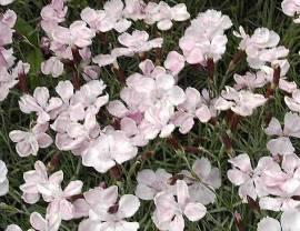Dianthus Gratianopolitanus - Hybriden 'Nordstjernen', Pfingstnelke - Bild vergrößern