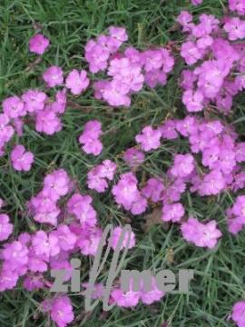 Dianthus Gratianopolitanus - Hybriden 'Eydangeri' Pfingstnelke - Bild vergrößern