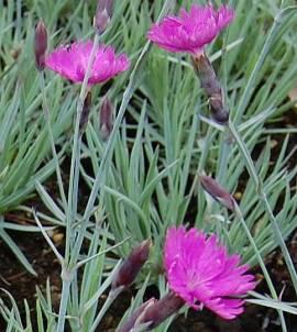 Dianthus gratianopolitanus 'Feuerhexe', Pfingstnelke - Bild vergrößern