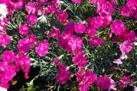 Dianthus Gratianopolitanus - Hybriden 'Neon Star' ® Pfingstnelke - Bild vergrößern