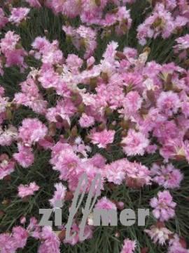 Dianthus plumarius - Hybriden 'Altrosa', Federnelke - Bild vergrößern