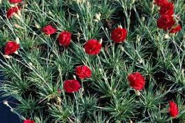 Dianthus plumarius - Hybriden 'Desmond', Federnelke - Bild vergrößern