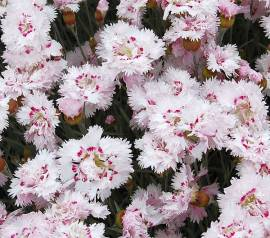 Federnelke, Dianthus plumarius - Hybriden 'Ine' - Bild vergrößern