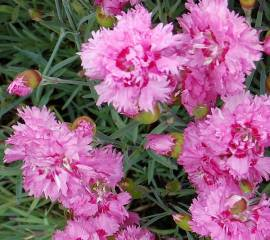 Dianthus plumarius - Hybriden 'Maggie', Federnelke - Bild vergrößern