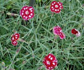 Federnelke, Dianthus plumarius - Hybriden 'Waithman's Beauty' - Bild vergrößern