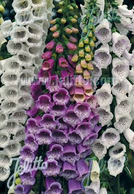 Digitalis purpurea  'Gloxiniflora', Fingerhut - Bild vergrößern