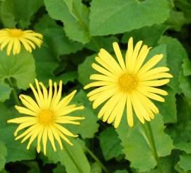 Doronicum pardalianches, kriechende Gämswurz - Bild vergrößern
