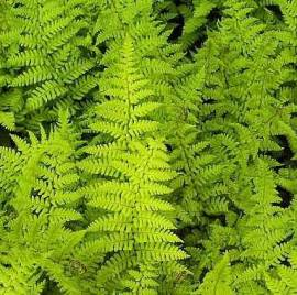 Dryopteris affinis 'Crispa' Krauser Goldschuppenfarn - Bild vergrößern