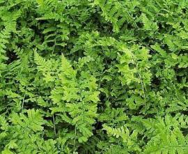 Dryopteris affinis 'Pinderi' Schmaler Goldschuppenfarn - Bild vergrößern