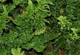 Dryopteris affinis 'Crispa Congesta' Krauser Goldschuppenfarn - Bild vergrößern