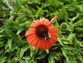 Echinacea purpurea 'Tangerine Dream ®', Sonnenhut - Bild vergrößern