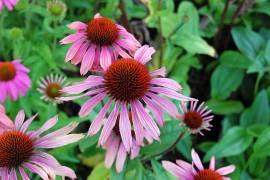 Echinacea purpurea Sonnenhut 'Summer Sky'® - Bild vergrößern