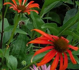 Echinacea purpurea 'Tomato Soup ®', Sonnenhut - Bild vergrößern