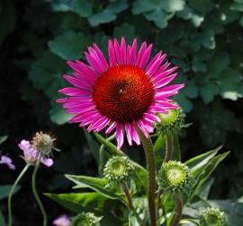 Echinacea purpurea 'Vintage Wine®', Sonnenhut - Bild vergrößern