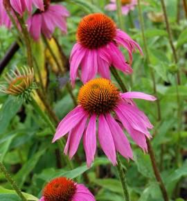 Echinacea purpurea 'Kim's Knee High ®, Sonnenhut - Bild vergrößern