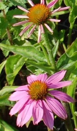 Echinacea purpurea 'Mistral'®, Sonnenhut - Bild vergrößern