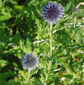 Echinops bannaticus 'Taplow Blue', Kugeldistel - Bild vergrößern