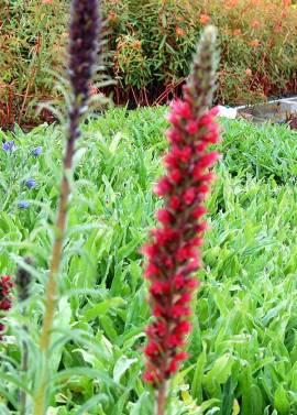 Echium russicum, Natternkopf - Bild vergrößern