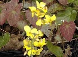 Epimedium x perralchicum 'Frohnleiten' Elfenblume - Bild vergrößern