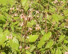 Epimedium x cantabrigiense Elfenblume - Bild vergrößern