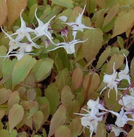 Elfenblume, Epimedium grandiflorum - Bild vergrößern