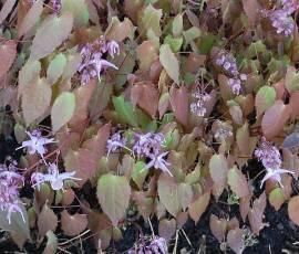 Epimedium grandiflorum 'Lilafee'  Elfenblume - Bild vergrößern