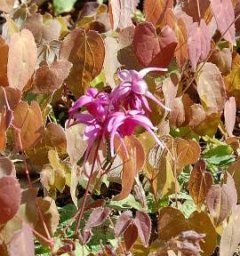 Elfenblume, Epimedium grandiflorum 'Rose Queen' - Bild vergrößern