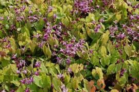 Elfenblume, Epimedium grandiflorum 'Rubinkrone' - Bild vergrößern
