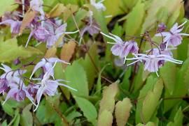 Elfenblume, Epimedium grandiflorum 'Violaceum' - Bild vergrößern